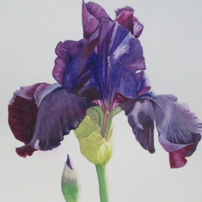 Midnight Iris - Deborah Miller - 11x14 watercolor