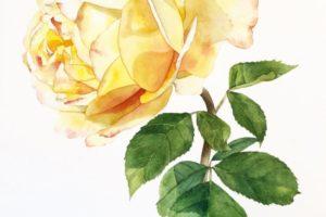 N. Boone Summer Rose