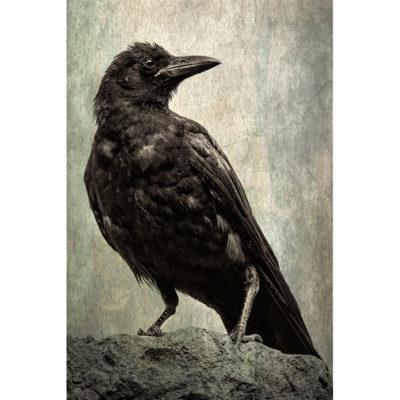 Sonya Lang, Crow Spirit Guide 800x800