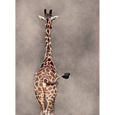 Sonya Lang, Giraffe Swag 800x800